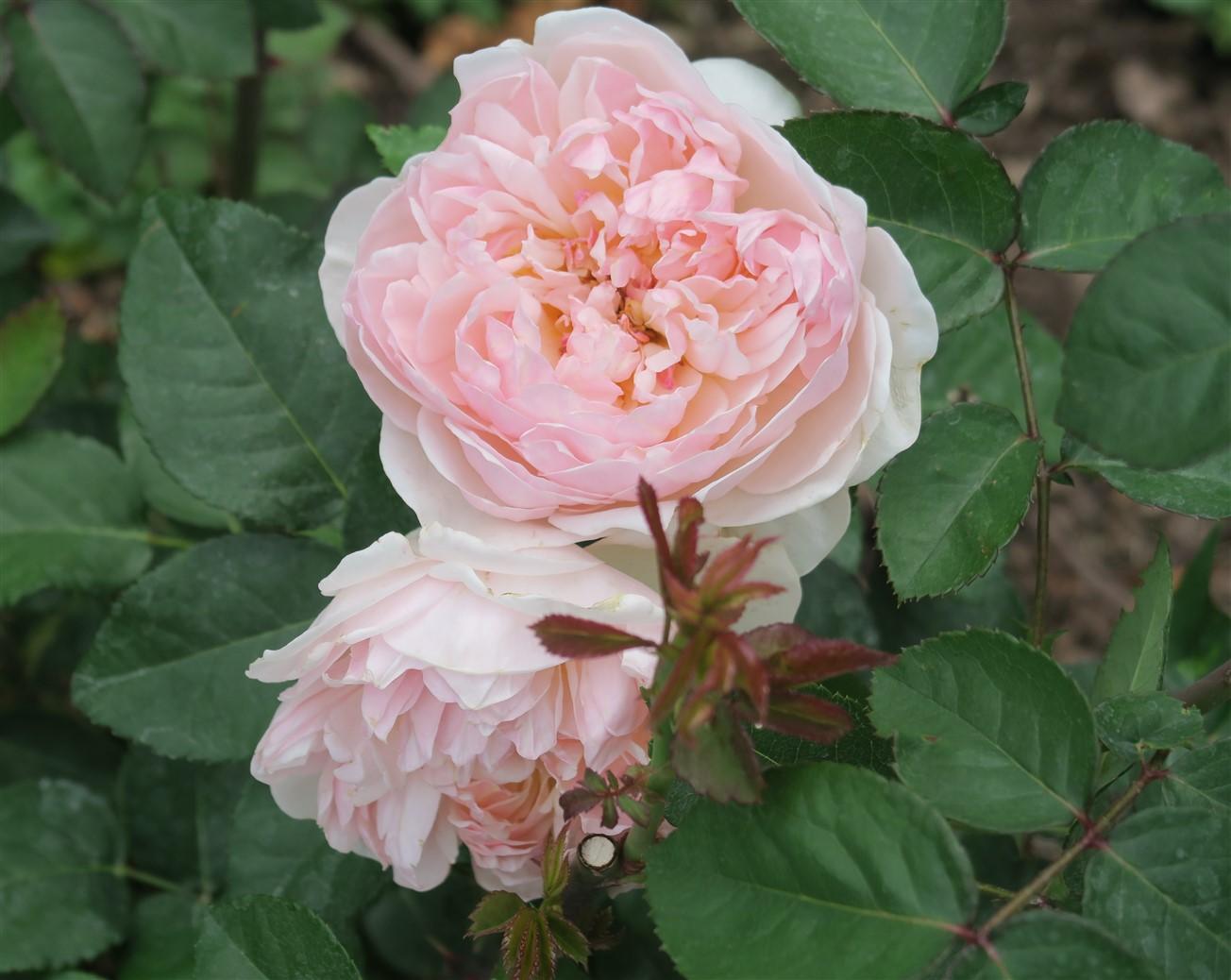 2015 06 07 227 Whetstone Rose Gardens.jpg