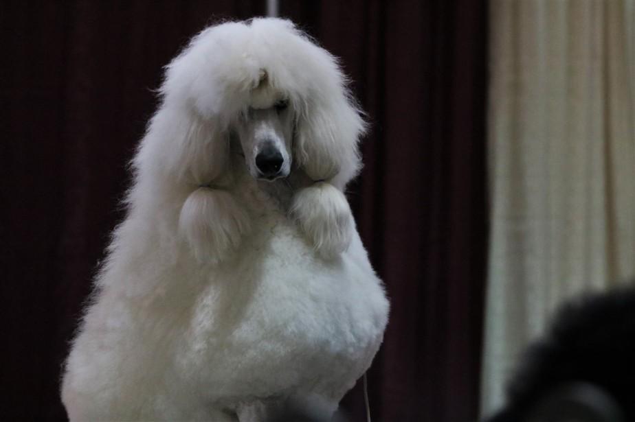 2016 11 20 66 Columbus Dog Show.jpg