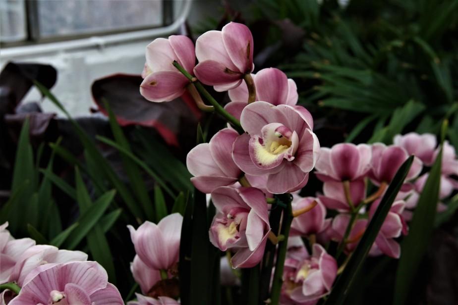 2017 02 25 126 Columbus Franklin Park Conservatory Orchid Exhibit.jpg