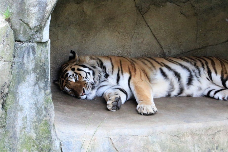 Columbus – May 2017 – Nap time at the Zoo