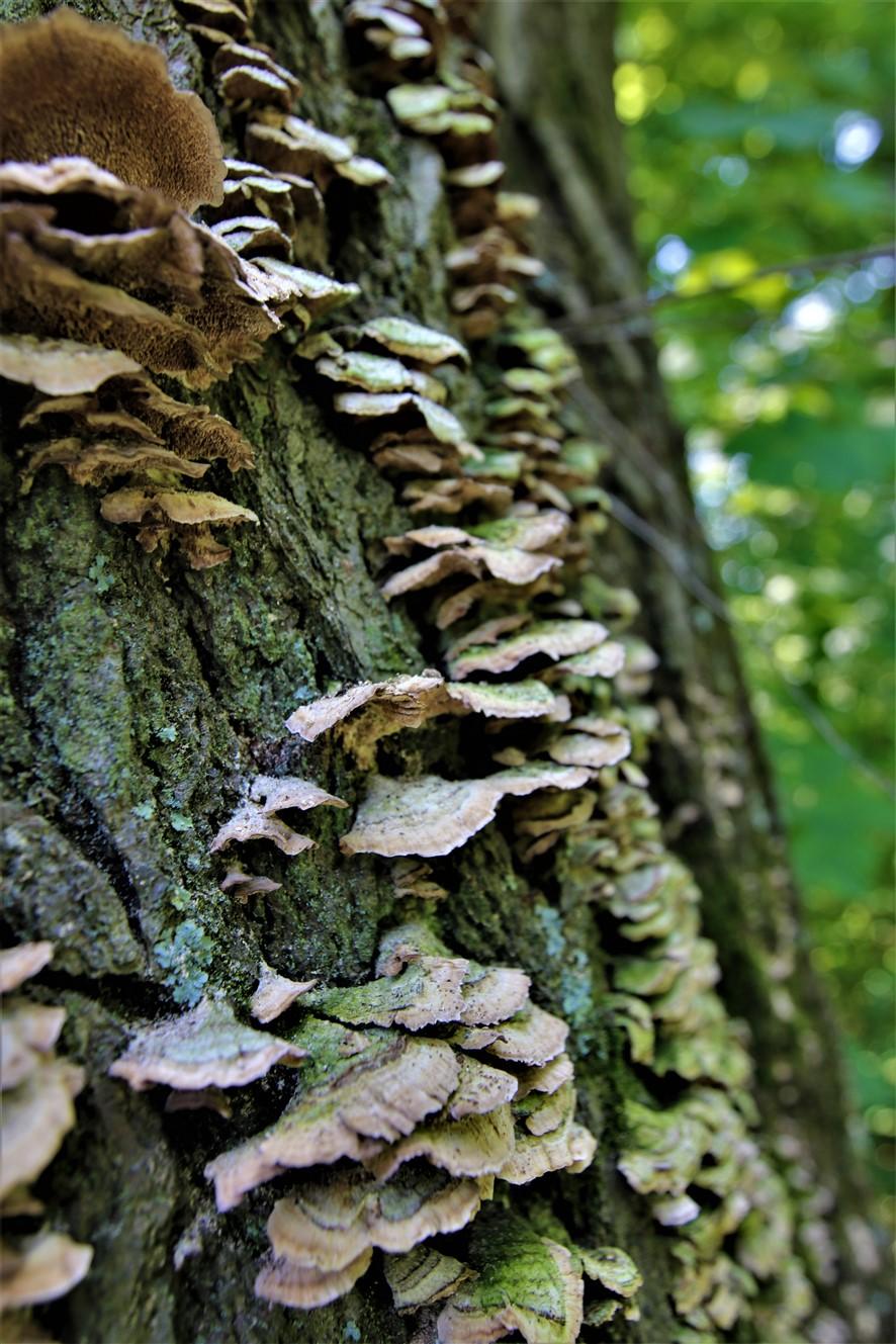 2018 07 01 33 Delaware OH Gallant Woods Park Mushroom Hike.jpg