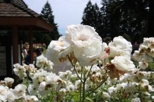 2016 06 03 60 Portland Rose Gardens