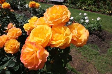 2016 06 03 63 Portland Rose Gardens