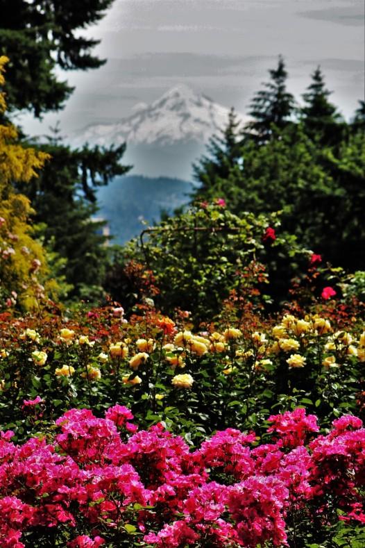 2016 06 03 68 Portland Rose Gardens