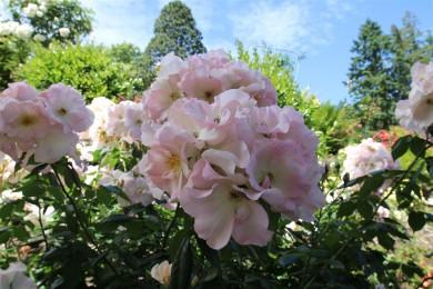 2016 06 03 84 Portland Rose Gardens