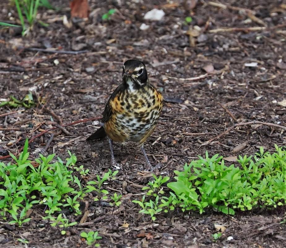 2020 06 26 4 Powell OH Backyard Birds and Historic Markers.jpg