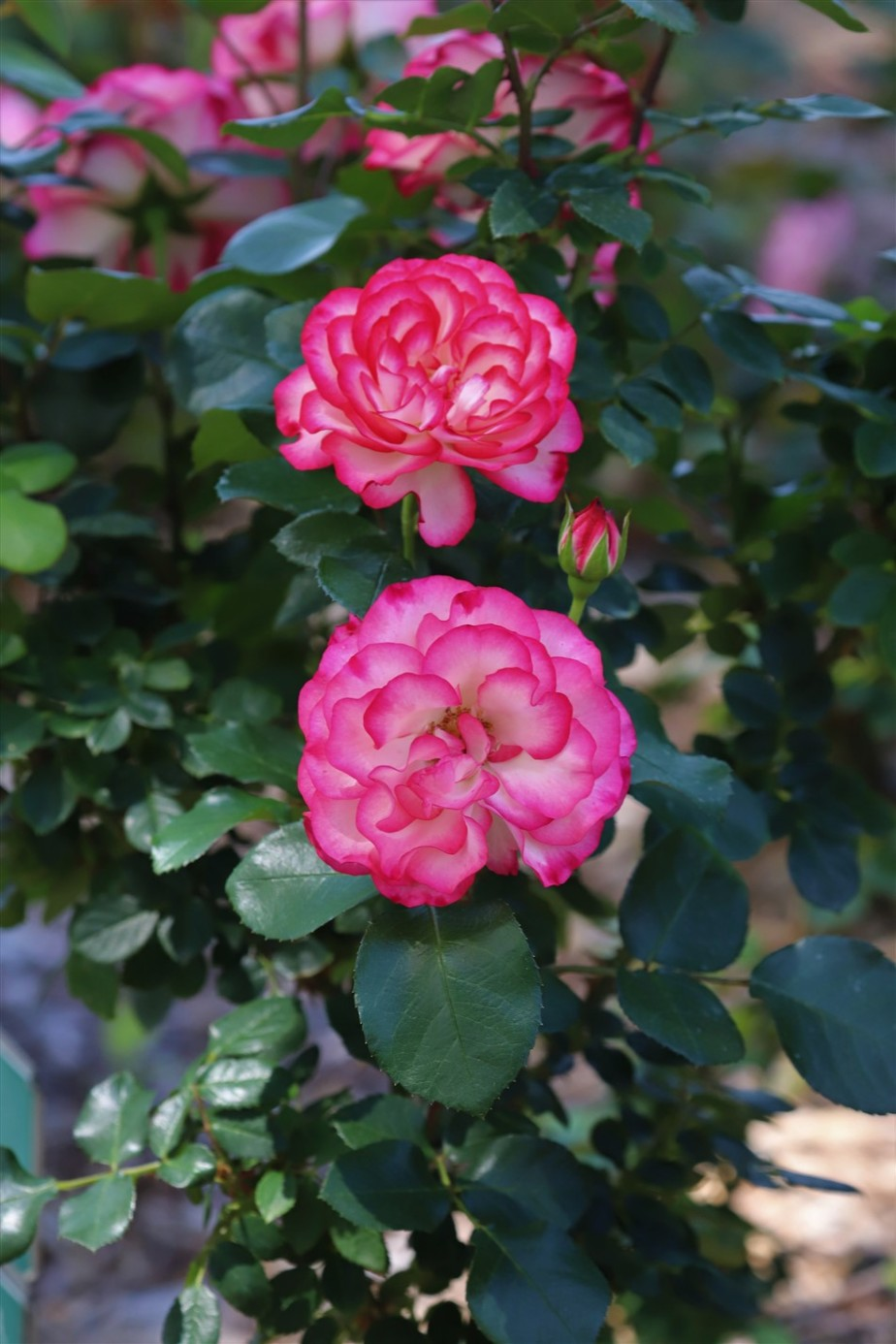 Columbus – May 2021 – Roses for theHoliday